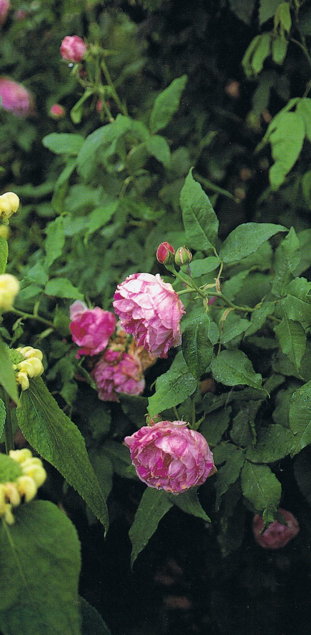 The Glory of Roses Hicote Manor striped rose 2 Phlomis samia