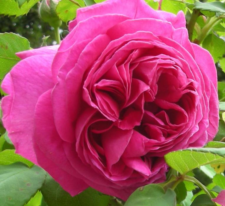 Old French rose
