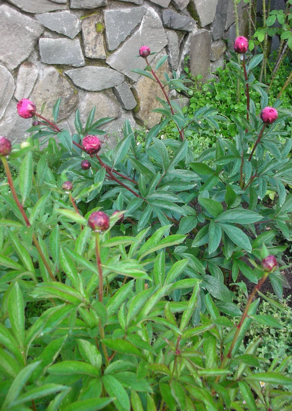 peonies in a border