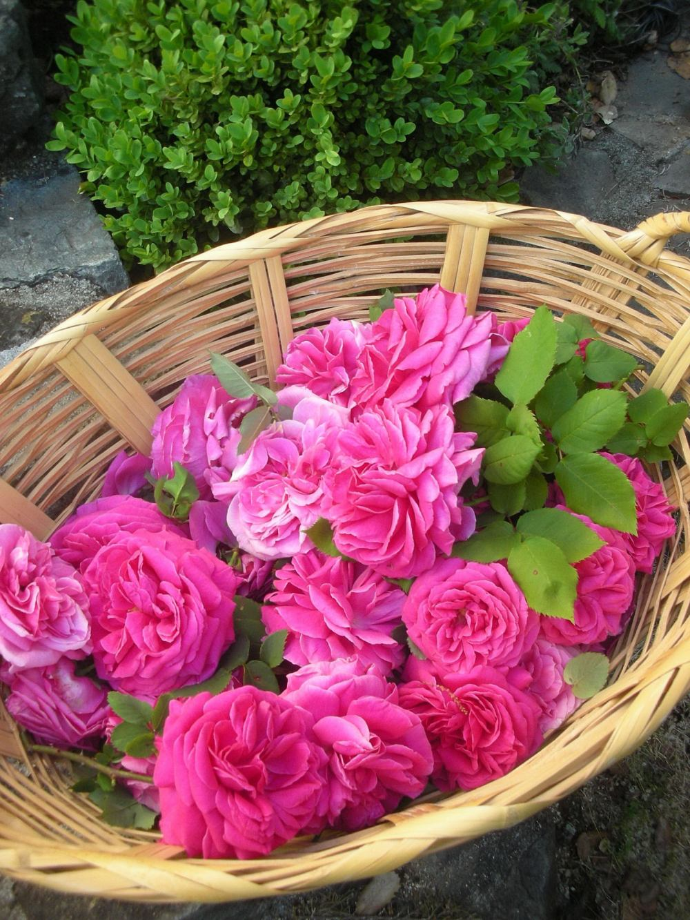 Basket of French antique roses