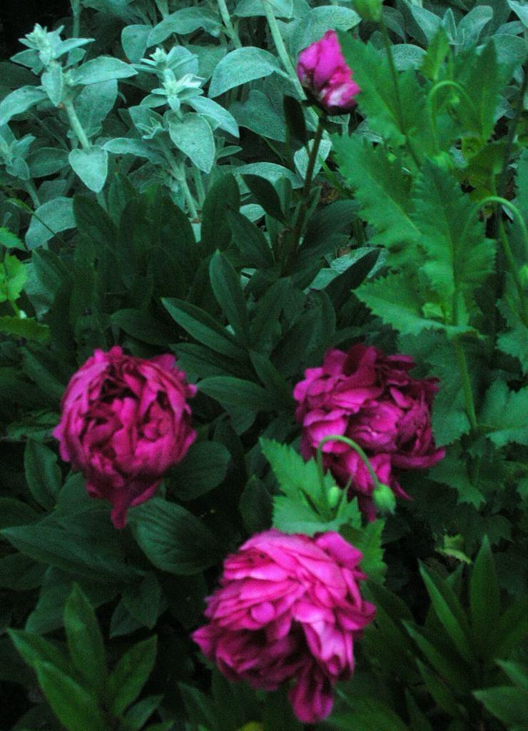 Peonies in the border garden