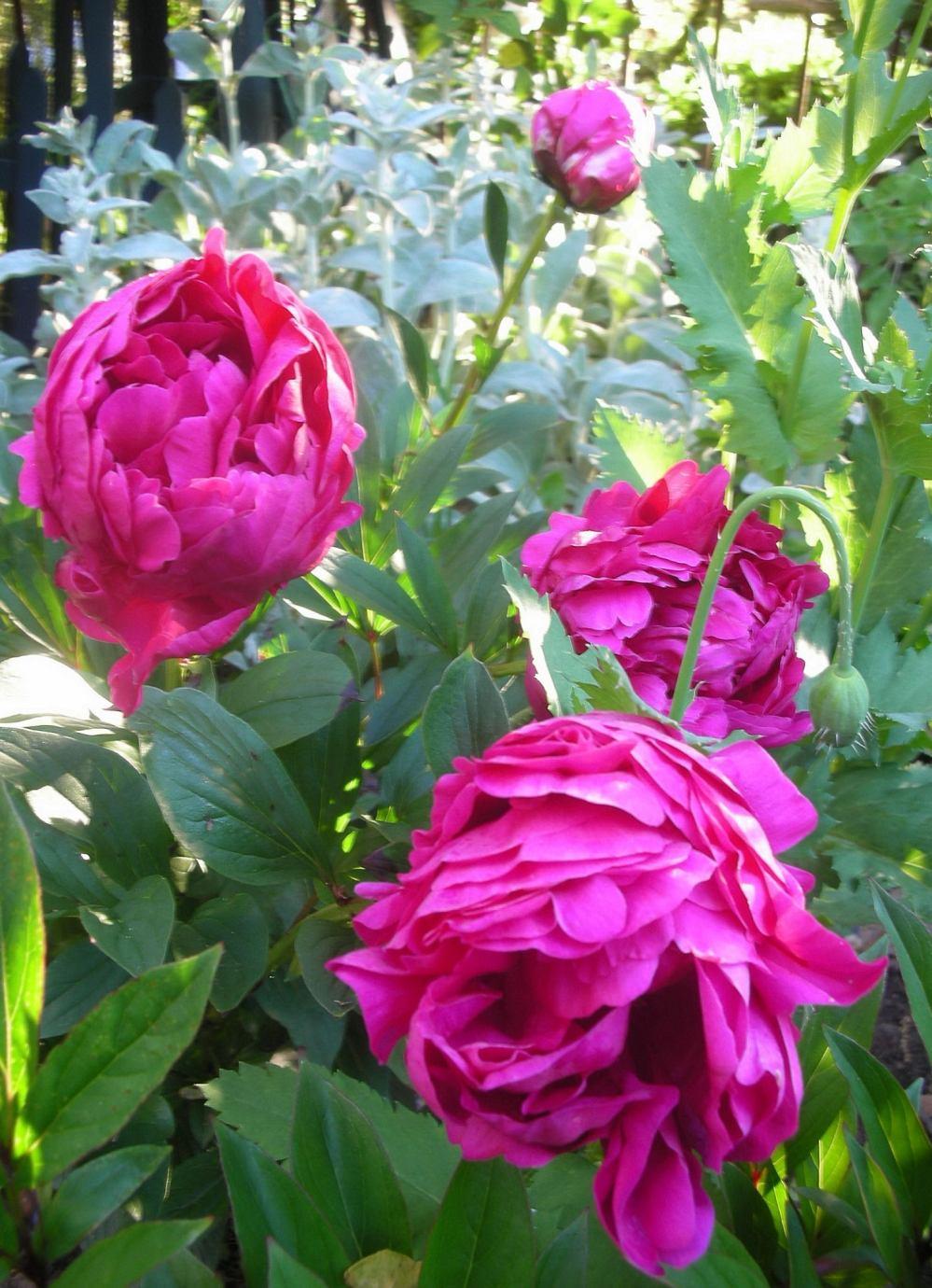 Trouvais Garden Peonies