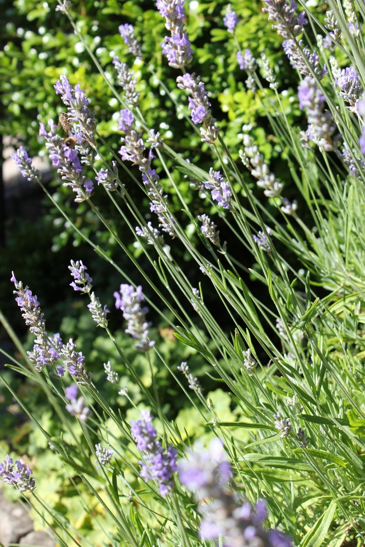 July garden lavender