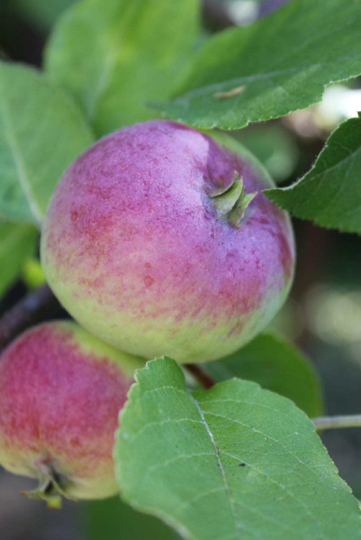 Liberty antique apple