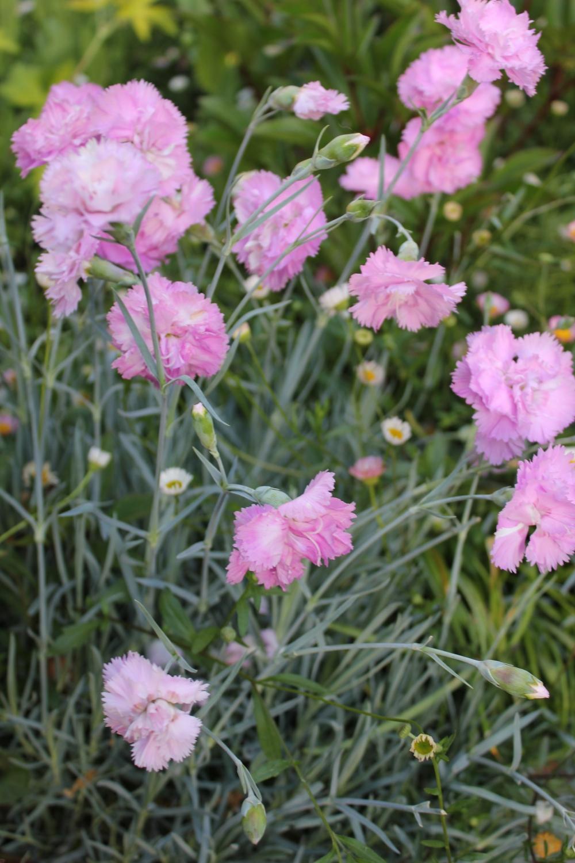 "Garden ""pinks"""