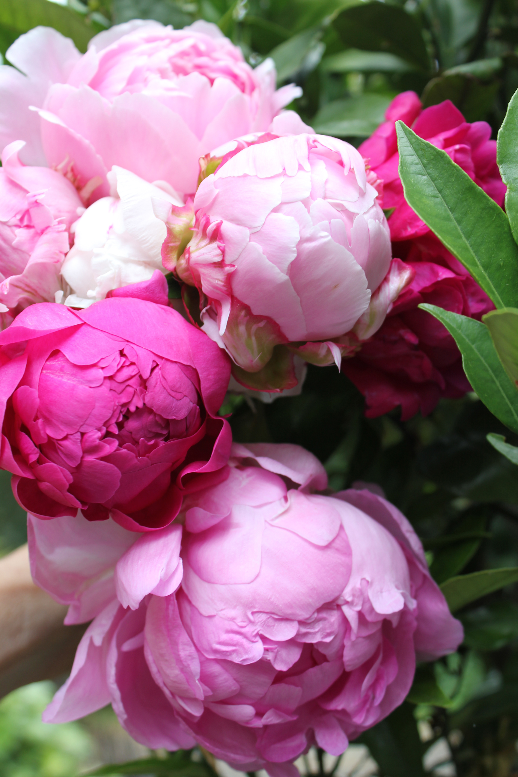 pretty peonies flowers peonies pink peonies beautiful peonies pretty
