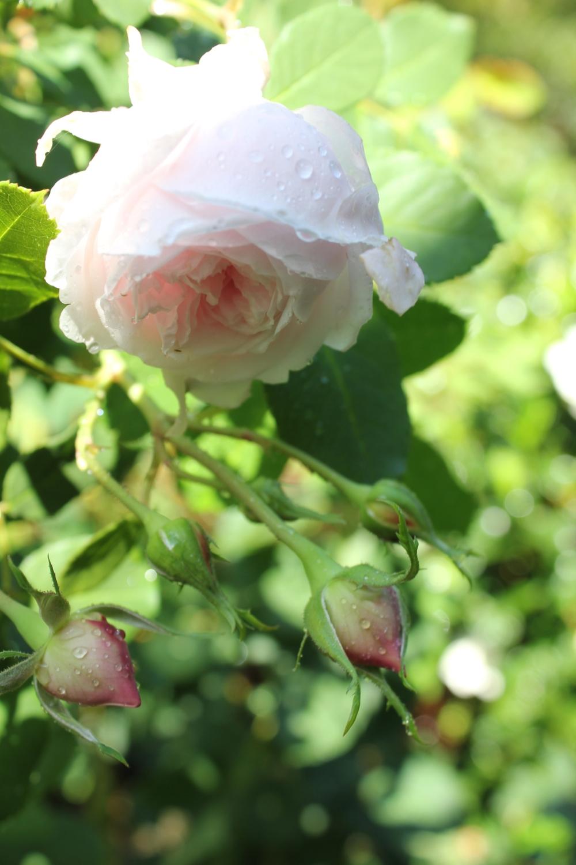 antique garden roses Trouvais