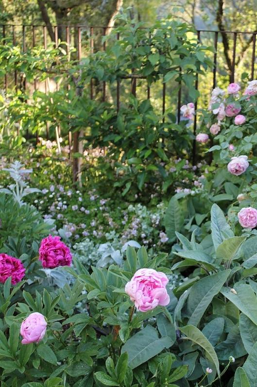 garden peonies