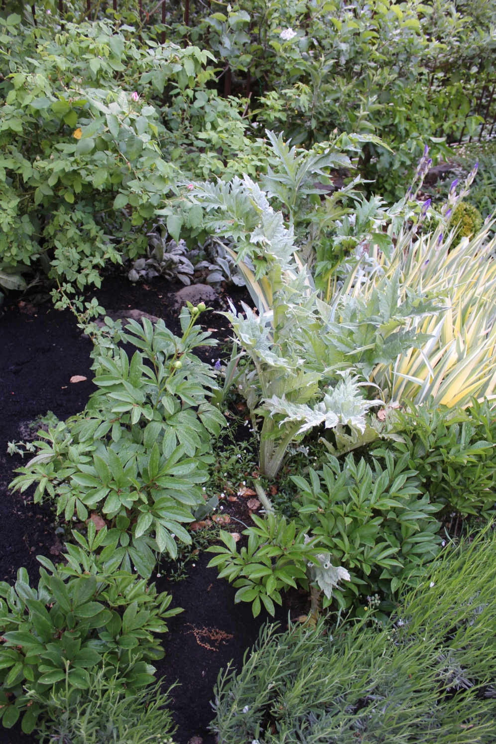 Artichoke in the Spring border