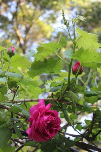 Antique Bourbon rose Deuil de Dr. Reynaud and grapevine