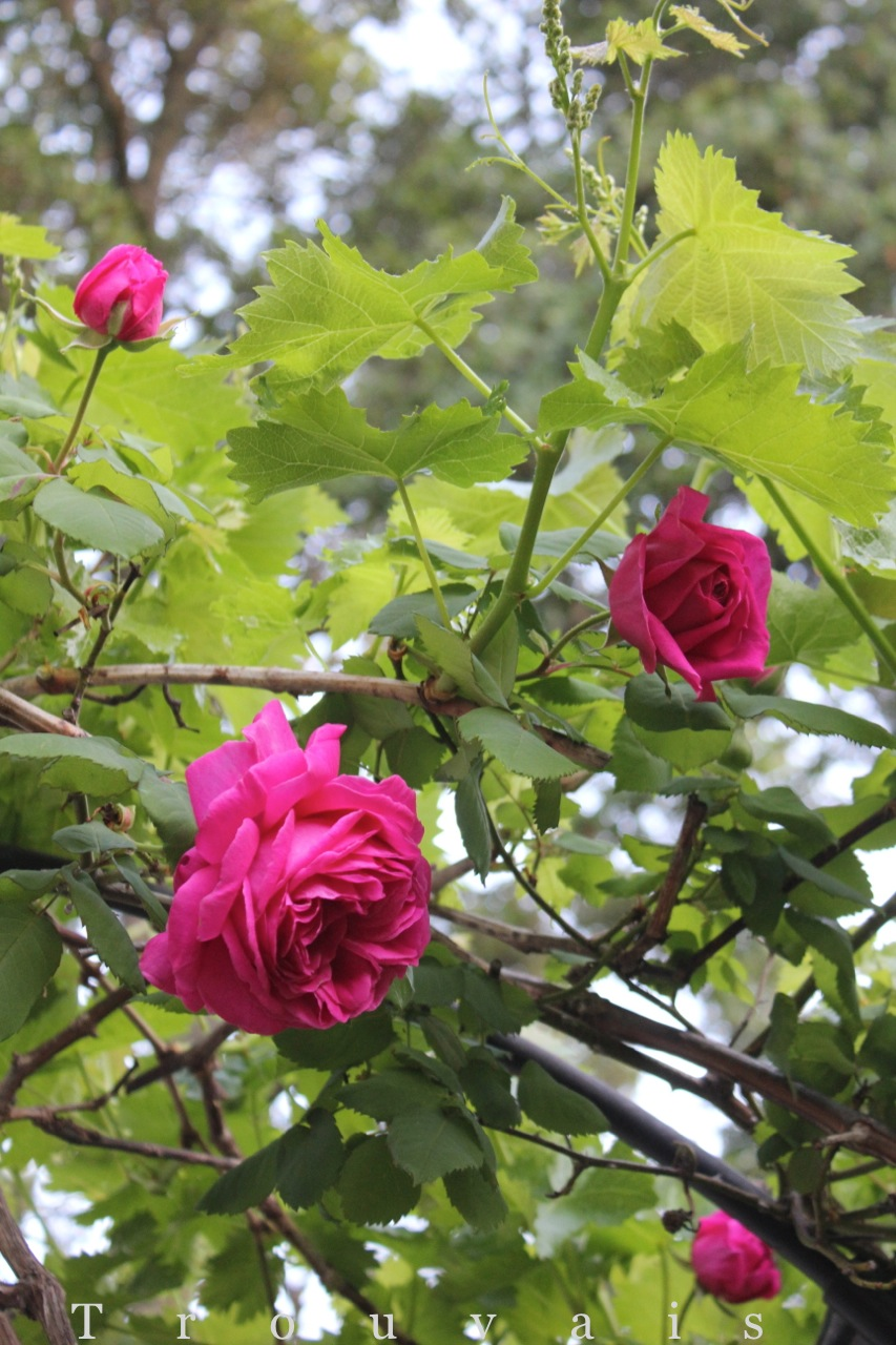 Trouvais roses and grapevines