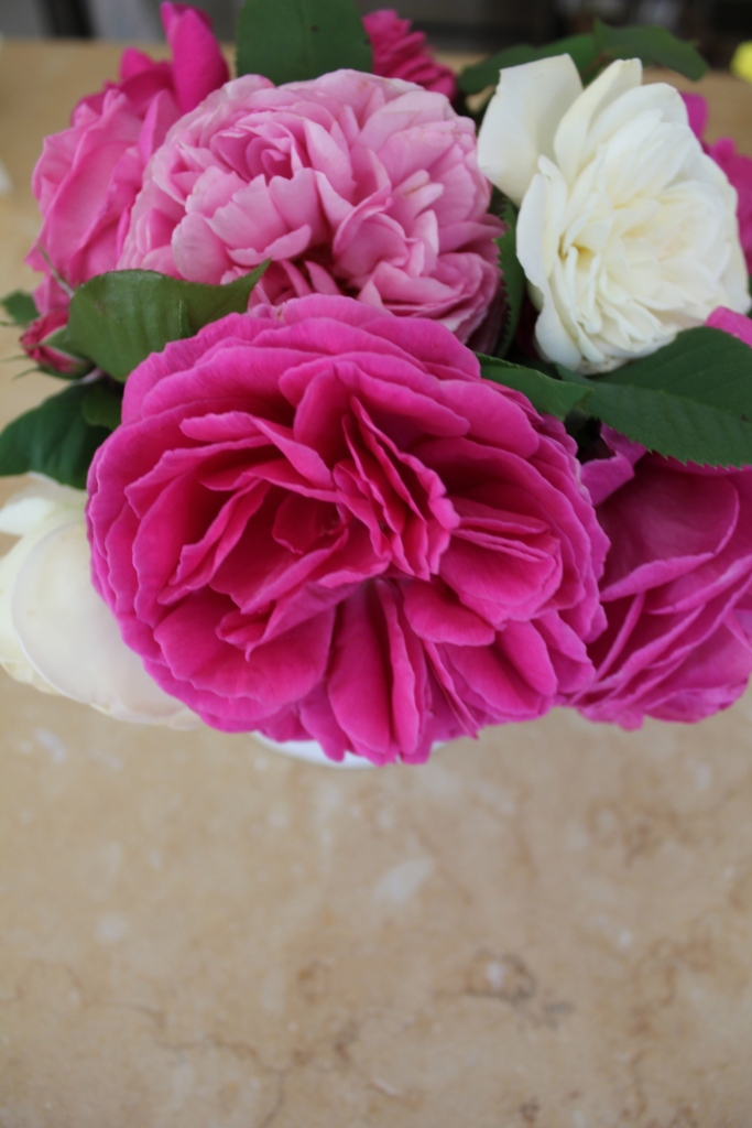 First Bourbon roses of the season