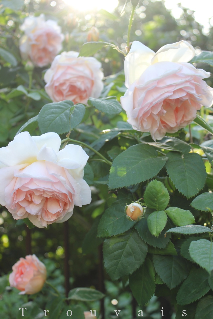 Trouvais roses