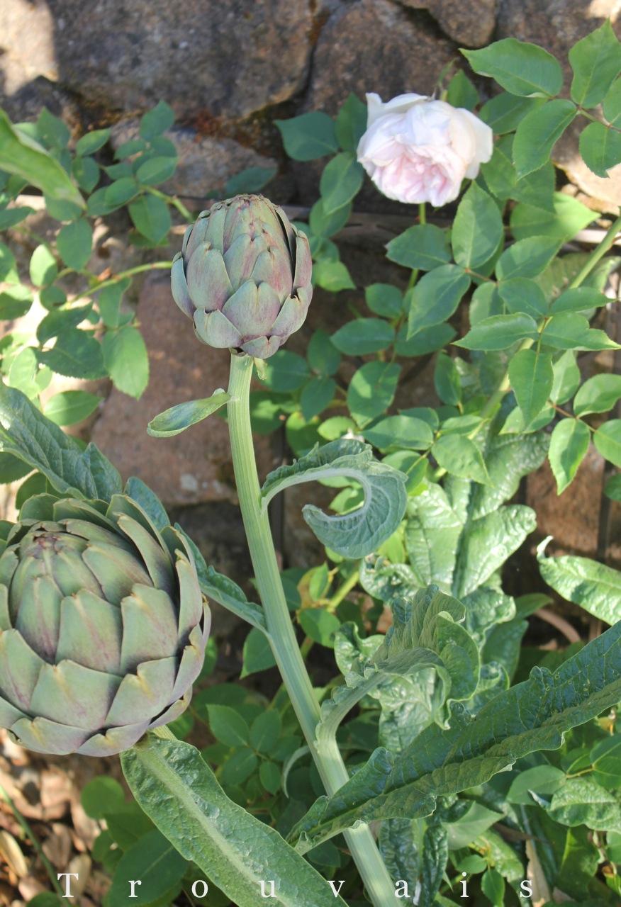 artichokes ad roses